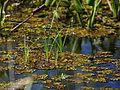 Swamps lake.jpg