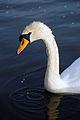 Swan (3522725469).jpg