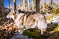 Swedish Vallhund December 2012 011.JPG