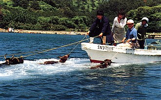 """Chibu, Shimane - """"Swimming cows"""" are a kind of tourist attraction. The cows are pulled out into the water and released. They then swim back to the shore."""
