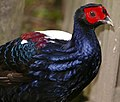 Swinhoe`s Pheasant (Lophura swinhoii) male captive (32832013482).jpg