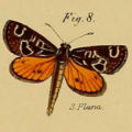 Synemon plana Westwood 1877.png
