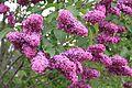 Syrin blomster lilla.JPG