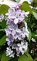 Syringa vulgaris Flower bud.jpg