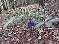 Syzygium megacarpum-1-JNTBGRI-kerala-India.jpg