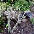 Tabaiba - Euphorbia balsamifera. Garajonay National Park. La Gomera - panoramio.jpg