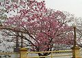 Tabebuia impetiginosa in bloom.jpg