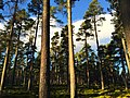 Tall pine trees in Mid Lynmore Wood - panoramio.jpg