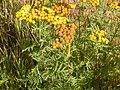 Tanacetum vulgare (4536292771).jpg