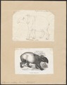 Tapirus indicus - 1700-1880 - Print - Iconographia Zoologica - Special Collections University of Amsterdam - UBA01 IZ22000287.tif