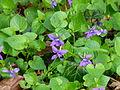 Tapis de fleurs au jardin Albert Kahn.JPG