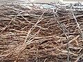 Tapis de racines de platane sous trottoir Platanus root mat under sidewalk Lille northern France 12.jpg