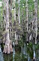 Taxodium ascendens Big Cypress National Preserve 2.jpg
