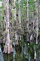 Taxodium ascendens Big Cypress National Preserve 2.jpg