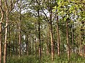 Teak plantation in Karnataka.jpg