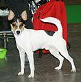 Tenterfield Terrier 2.jpg