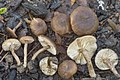 Tephrocybe anthracophila (Lasch) P.D. Orton 961226.jpg