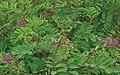 TephrosiaPurpurea.jpg
