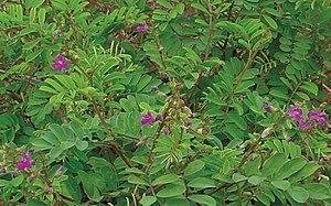 Tephrosia purpurea - var. purpurea