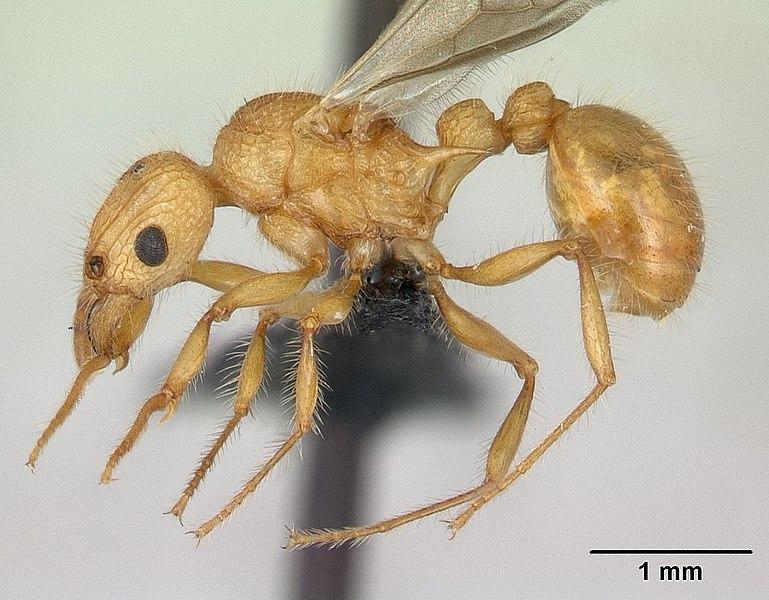 Profile view of ant Tetramorium kelleri specimen casent0134996.