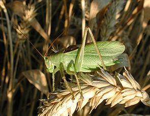 Zwitscherschrecke (Tettigonia cantans), ♂