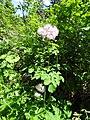 Thalictrum aquilegiifolium L. (7462100948).jpg