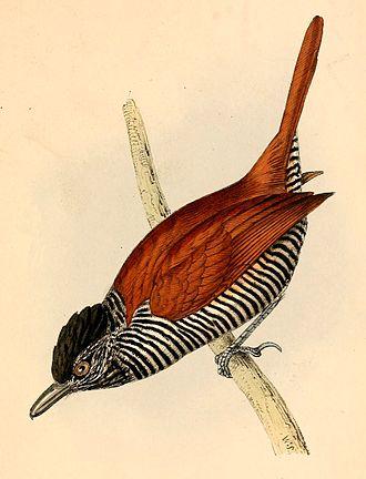 Chestnut-backed antshrike - Thamnophilus palliatus illustration by Swainson, 1841