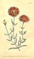 The Botanical Magazine, Plate 448 (Volume 13, 1799).png