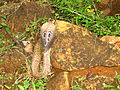 The Common Indian Cobra or Spectacled Cobra 14.JPG