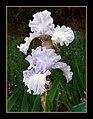 The Iris (10) (8096407468).jpg