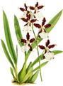 The Orchid Album-01-0140-0046-Miltonia cuneata-crop.png