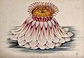 The flower of a giant water lily (Victoria amazonica). Colou Wellcome V0044474.jpg