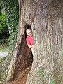 The hollow Eardisley Oak - geograph.org.uk - 1232115.jpg