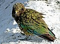 The kea (Nestor notabilis) NZ (33106835154).jpg