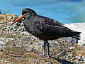 The variable oyster catcher.FZ200 (16491134230).jpg
