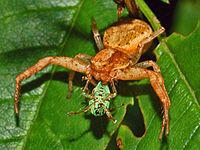 Thomisidae - Xysticus sp..JPG
