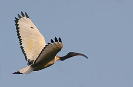 Threskiornis aethiopicus - Durban -South Africa-8.jpg