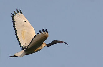 African sacred ibis - Flying in South Africa