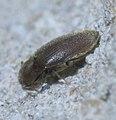 Throscidae P1450663a.jpg