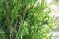 Thuja occidentalis - northern whitecedar 0161.jpg