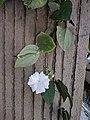 Thunbergia fragrans 20181022 124749.jpg