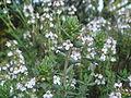 Thymus maroccanus 1.JPG
