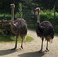 Tierpark Chemnitz - afrikanische Strauße-8508.jpg
