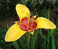 Tigridia pavonia 003.jpg