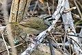 Tocuyo Sparrow.jpg