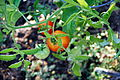 Tomato Plant 2 2012-07-28.jpg