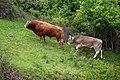Toros 01 asturiana y parda alpina by-dpc.jpg