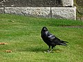 Tower of London, raven - geograph.org.uk - 1775806.jpg