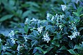 Trachelospermum jasminoides IMG 3167-star-jasmine.jpg