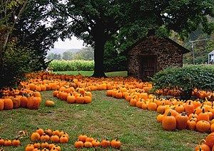 Pumpkin - Pumpkins in a garden